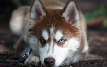 Animal - Husky Wallpapers and Backgrounds ID : 507796