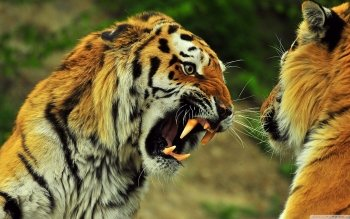 Animal - Tiger Wallpapers and Backgrounds ID : 508243