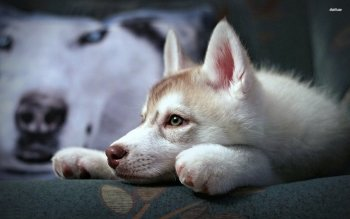 Animalia - Husky Wallpapers and Backgrounds ID : 510418