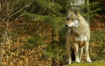 Animal - Wolf Wallpapers and Backgrounds ID : 514325
