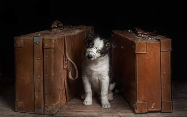 Animal Dog Dogs Cute Suitcase Puppy HD Wallpaper | Background Image