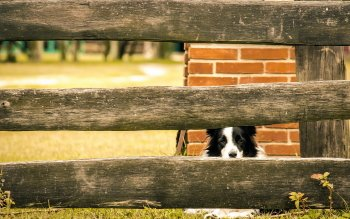 Animal - Border Collie Wallpapers and Backgrounds ID : 516972