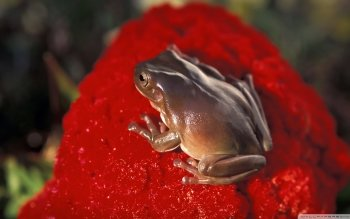 Animal - Frog Wallpapers and Backgrounds ID : 518813
