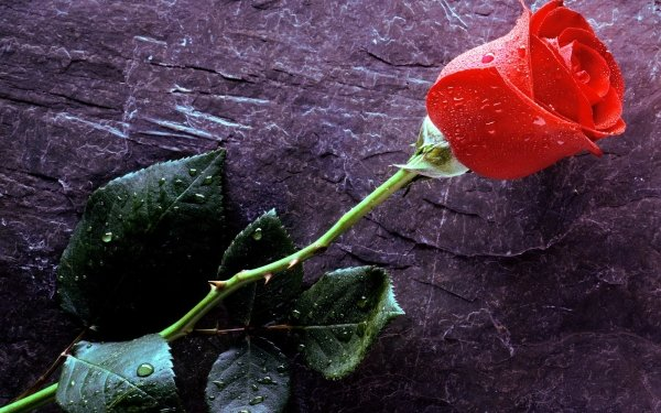 Earth Rose Flowers Flower Red Rose HD Wallpaper   Background Image