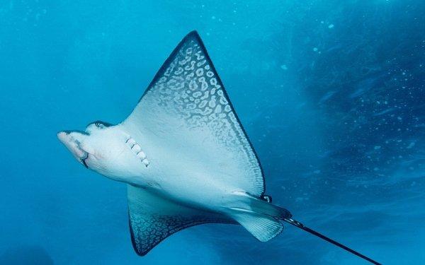 Animal Stingray Fishes HD Wallpaper | Background Image