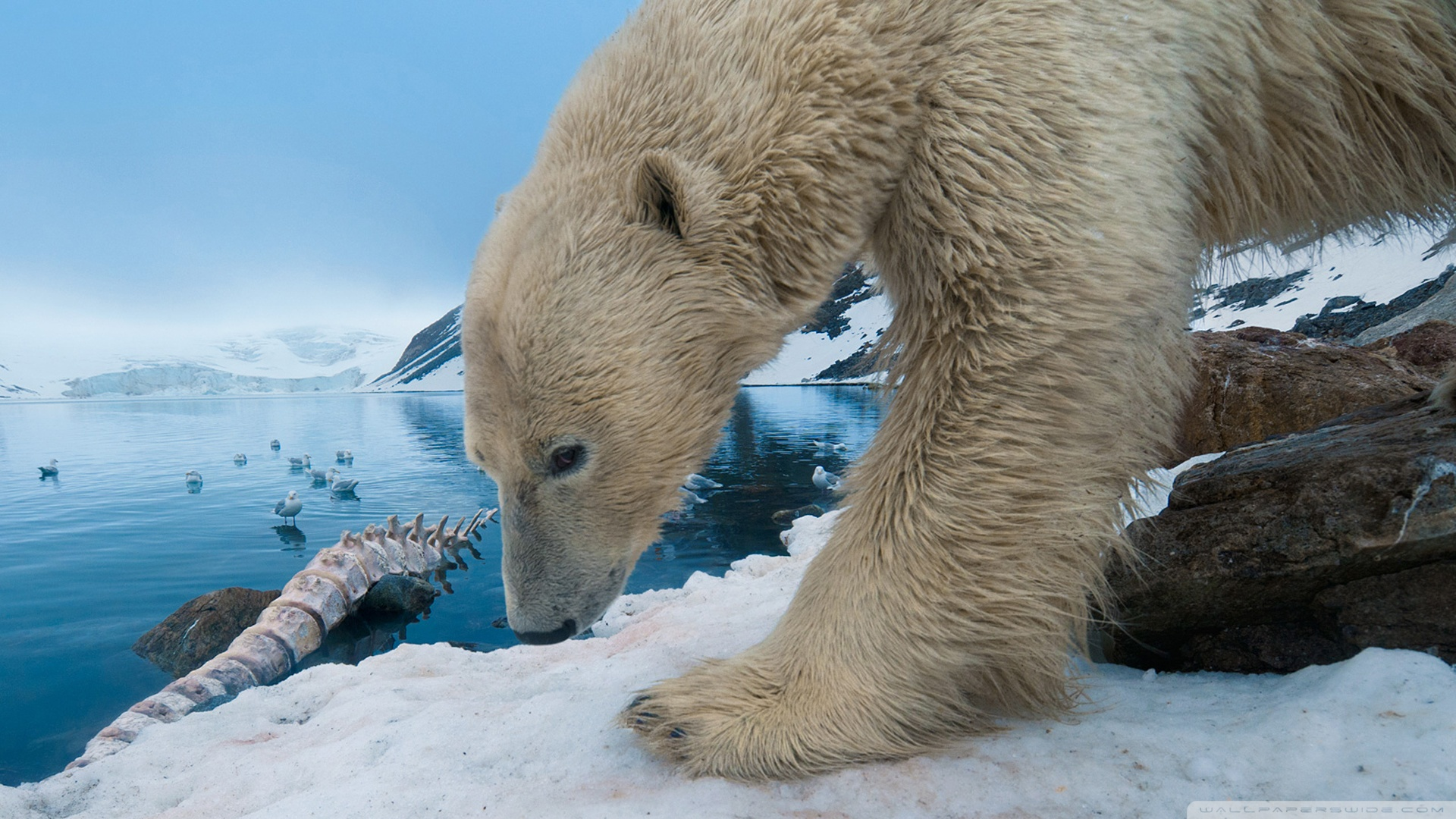 Polar Bear Full HD Wallpaper And Background Image