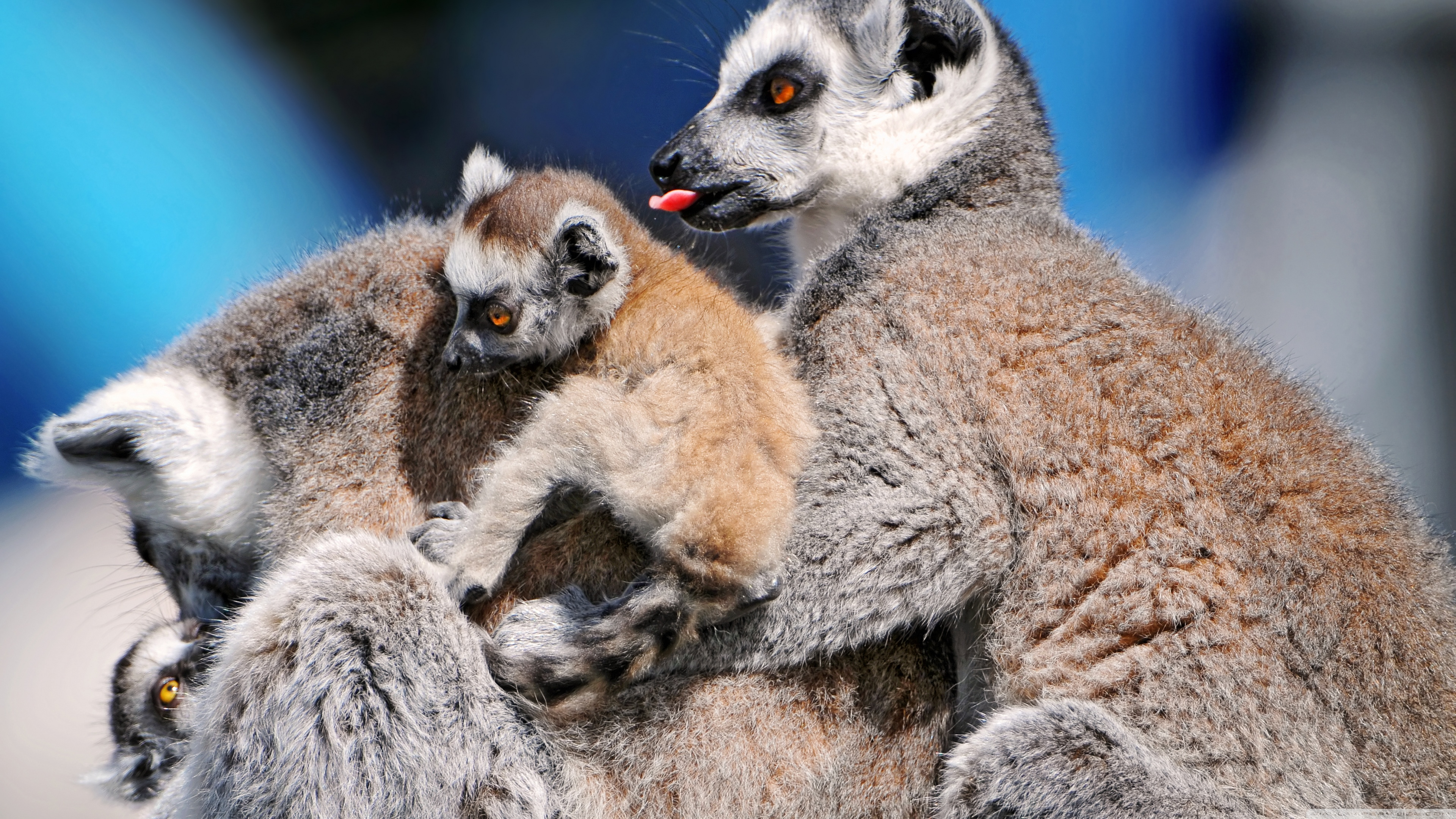 download wallpaper 3840x2160 lemur-#main