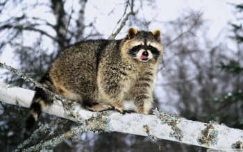 Animal - Raccoon Wallpapers and Backgrounds ID : 522063