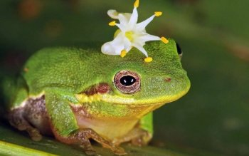 Animal - Frog Wallpapers and Backgrounds ID : 522918