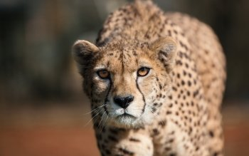 Djur - Cheetah Wallpapers and Backgrounds ID : 523056