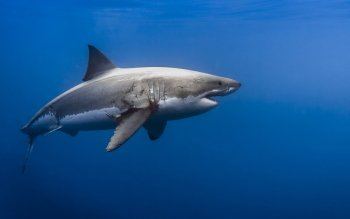 Animal - Shark Wallpapers and Backgrounds ID : 523563