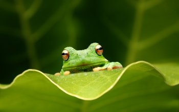Animal - Frog Wallpapers and Backgrounds ID : 523731
