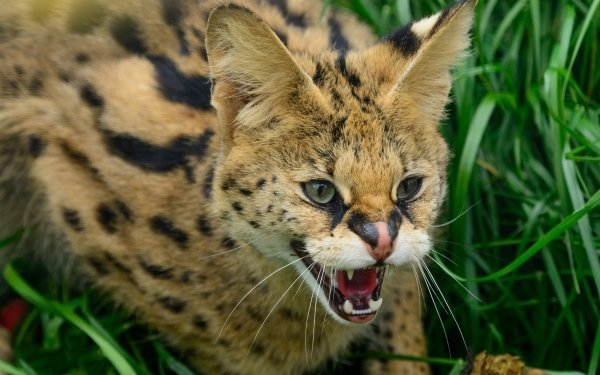 Animal Serval Cats HD Wallpaper | Background Image