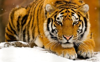 Animal - Tiger Wallpapers and Backgrounds ID : 527863