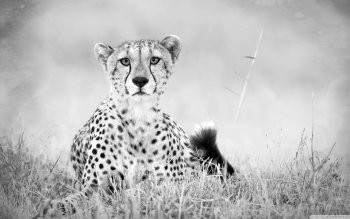 Djur - Cheetah Wallpapers and Backgrounds ID : 528224