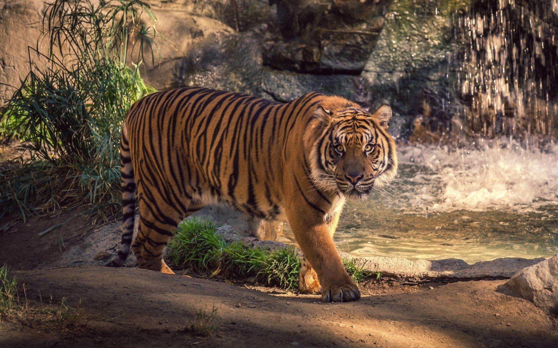 Tigre Fond d'écran HD | Arrière-Plan | 2560x1600 | ID:529343 - Wallpaper Abyss