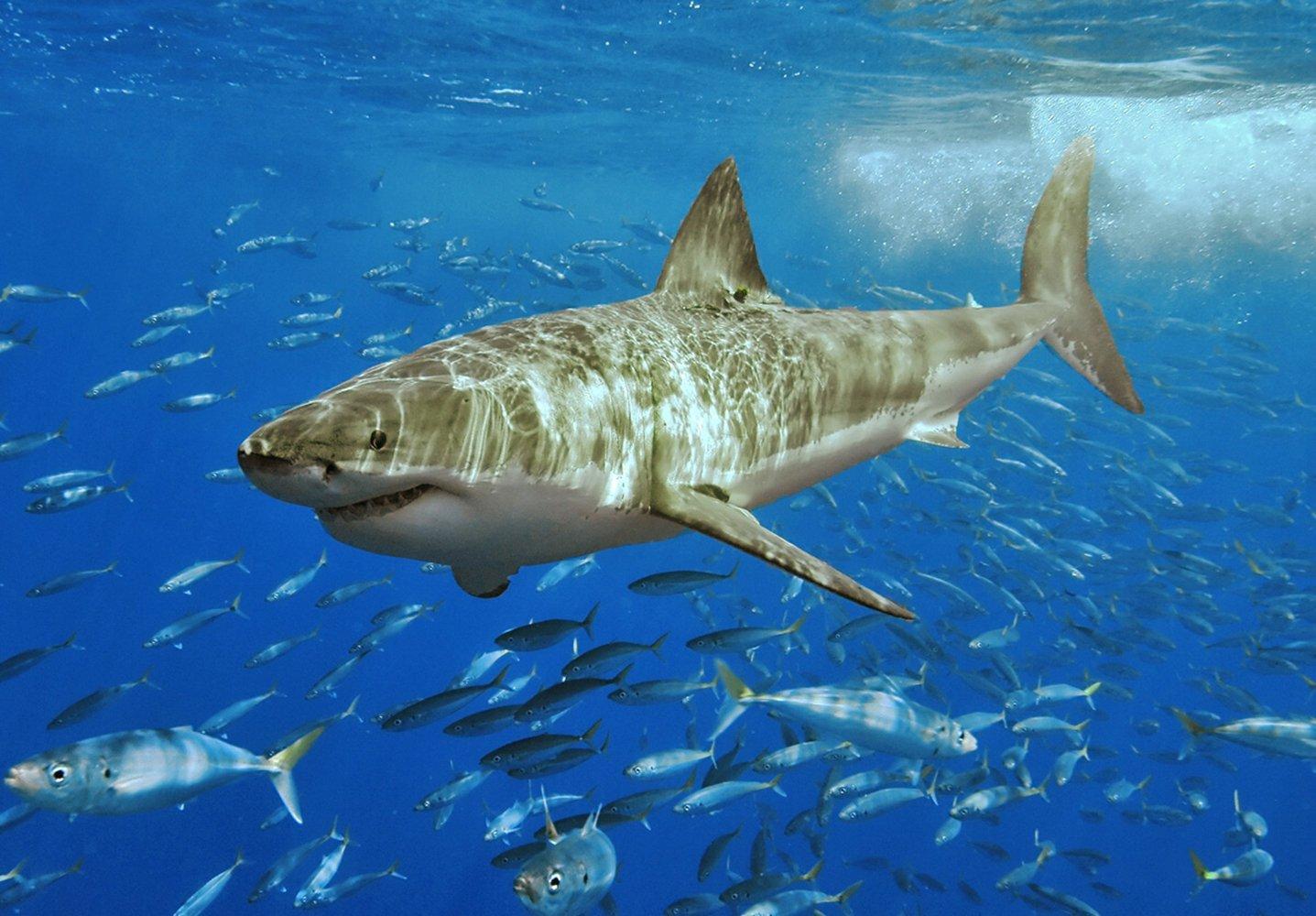 Animal - Great White Shark  Shark Carcaradon Carcarias Ocean Fish Wallpaper