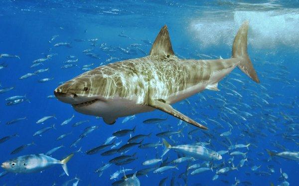 Animal Great White Shark Sharks Shark Ocean Fish HD Wallpaper | Background Image