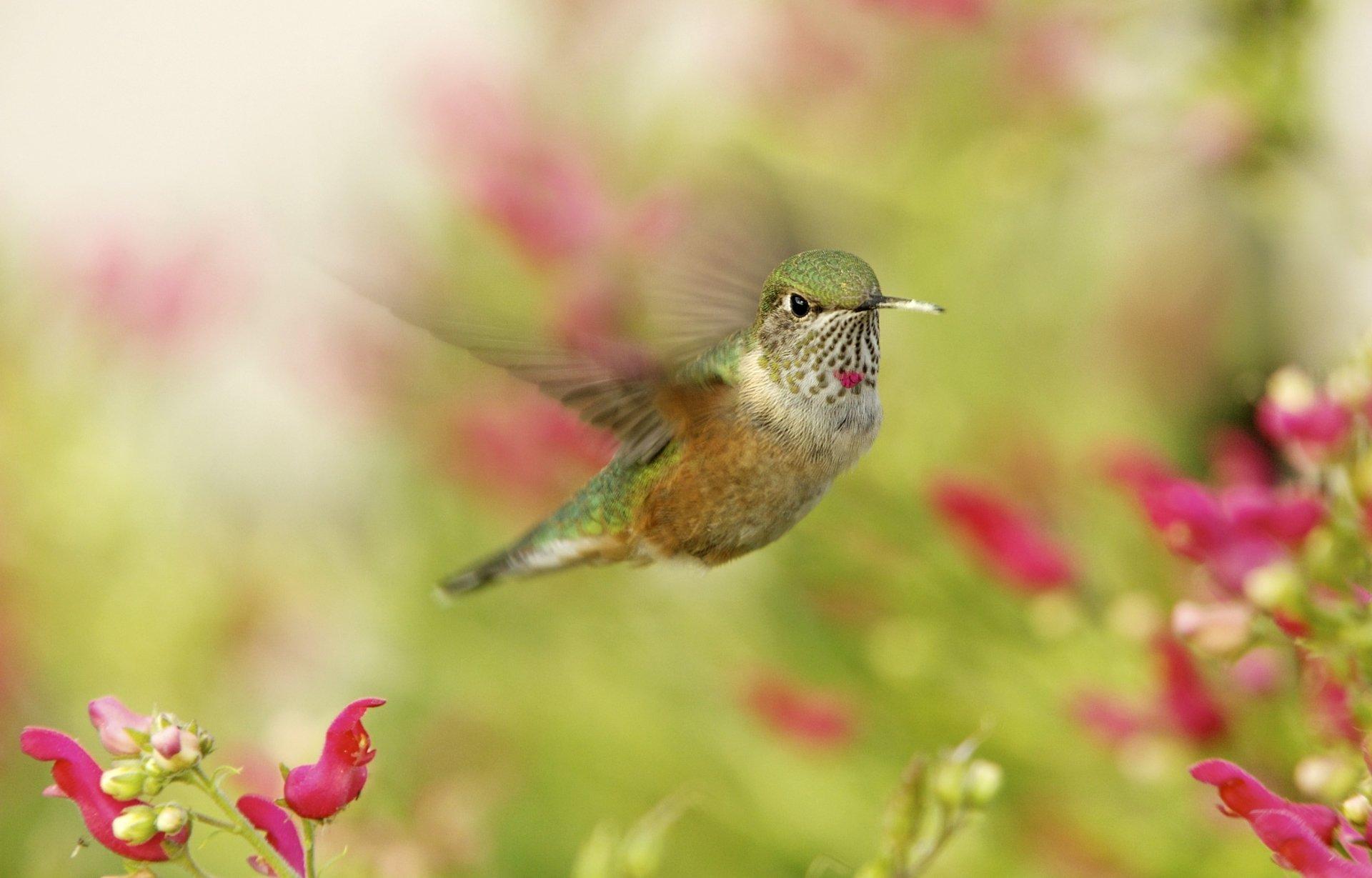 Humming bird hd wallpaper background image 3000x1920 id 531413 wallpaper abyss - 3000x1920 wallpaper ...