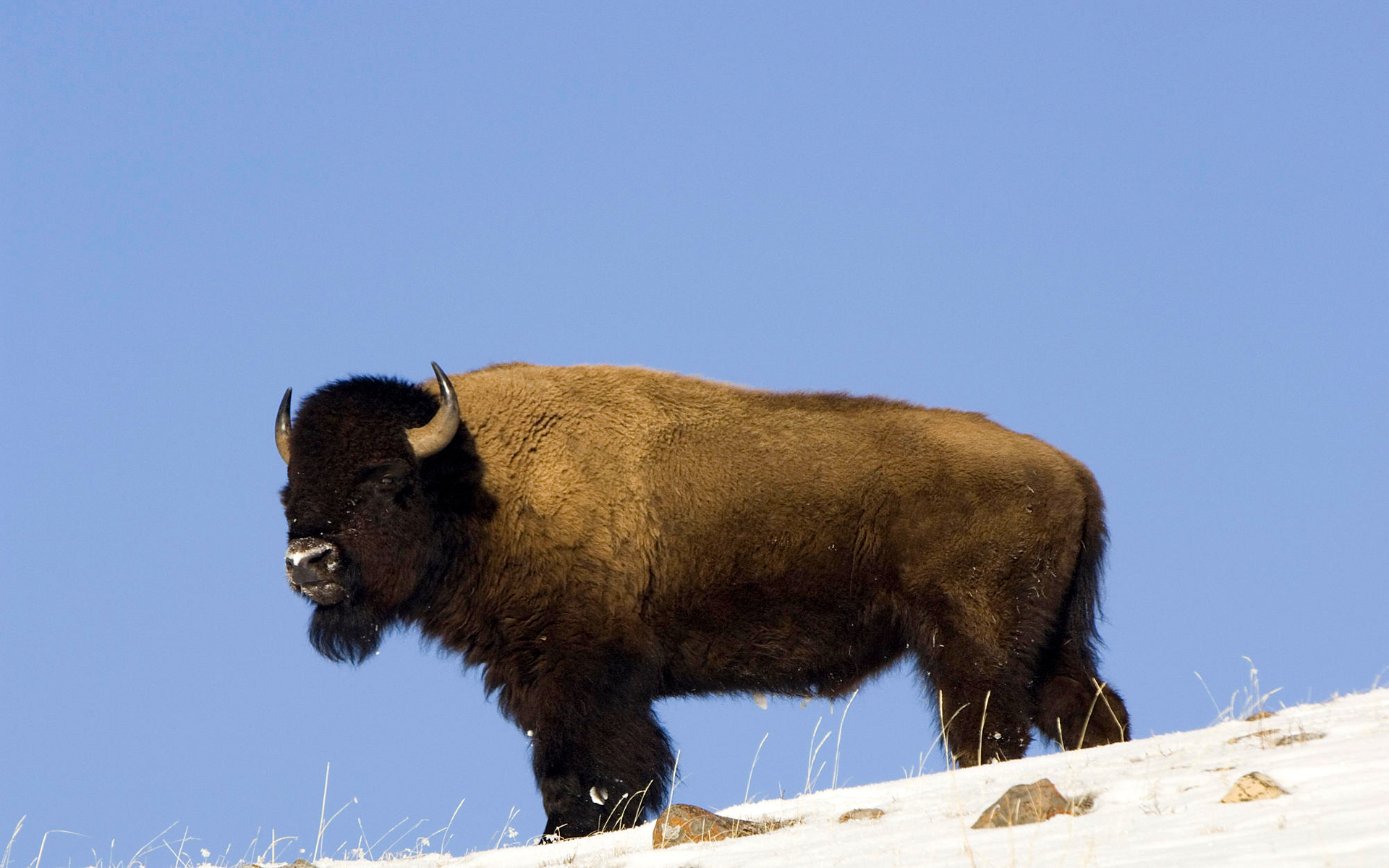 American Bison Full HD Wallpaper and Background ...