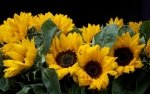 Preview Sunflower