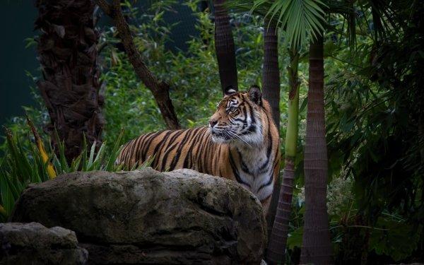 Animales Tigre Gatos Jungla Wildlife predator Fondo de pantalla HD   Fondo de Escritorio