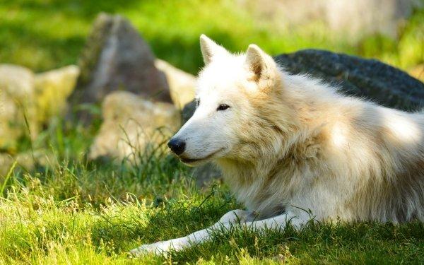 Animal Wolf White Wolf Sunshine HD Wallpaper   Background Image