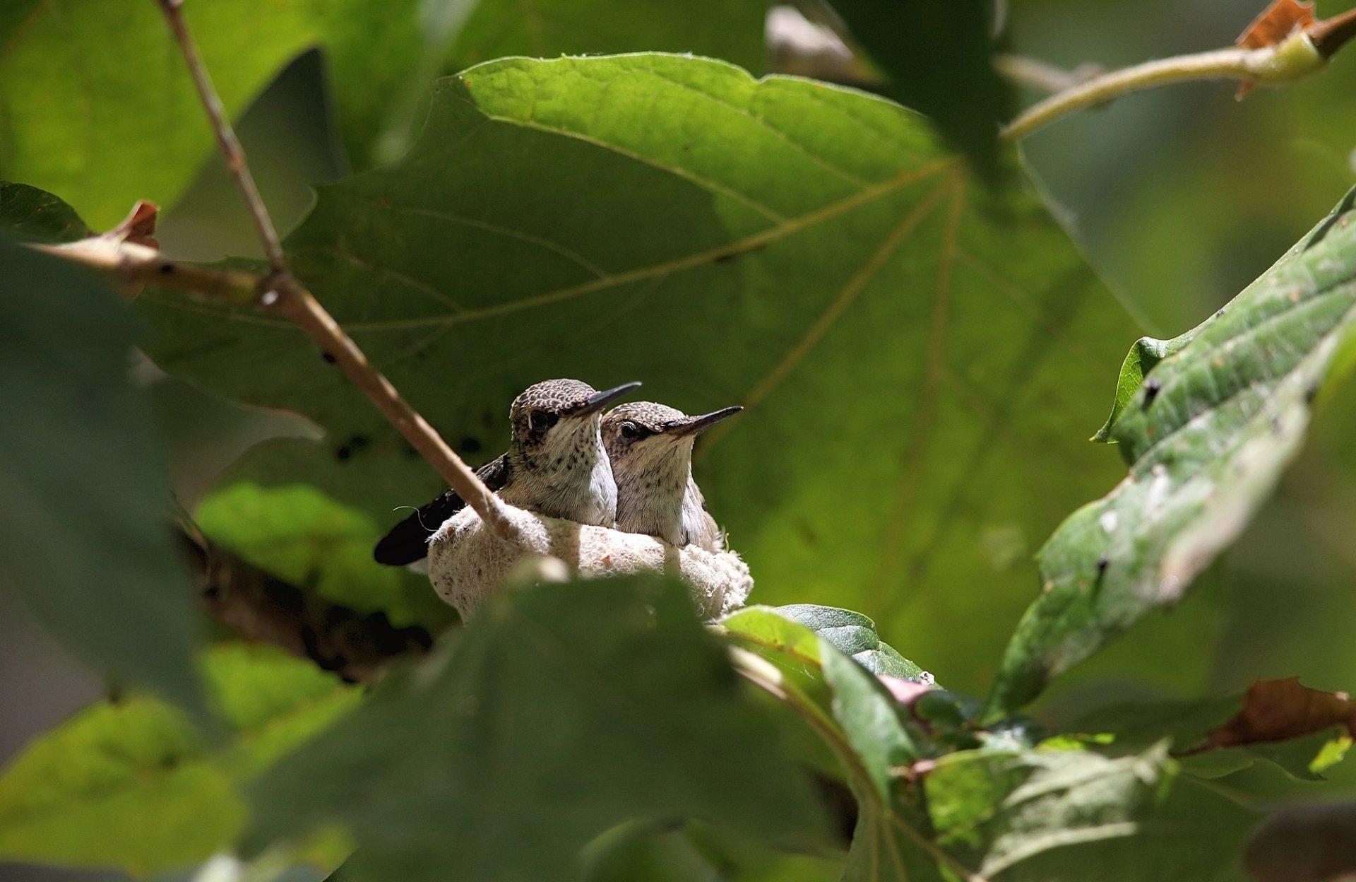 Animal - Hummingbird  Couple Nest Wallpaper