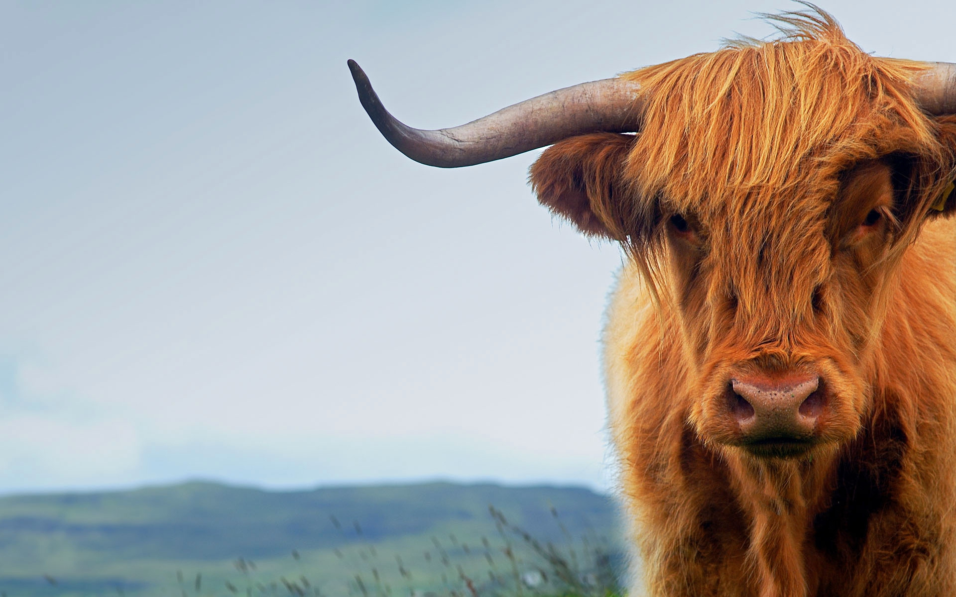 highland cattle full hd wallpaper and background image