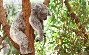 40 Koala Fonds D Ecran Hd Arriere Plans Wallpaper Abyss
