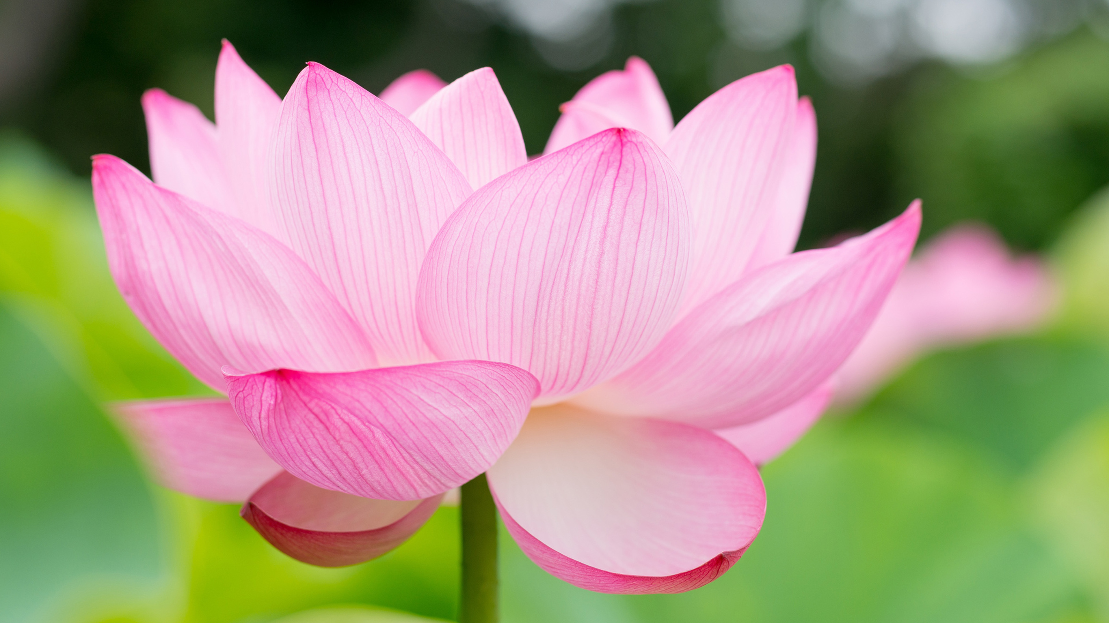 lotus flower 4k ultra hd wallpaper and background image