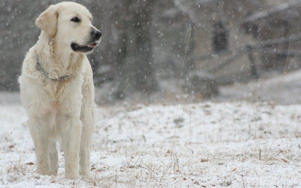 Animal Labrador Retriever Dogs Dog Snow HD Wallpaper | Background Image
