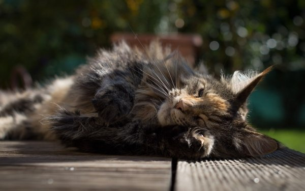 Animal Cat Cats Resting HD Wallpaper | Background Image
