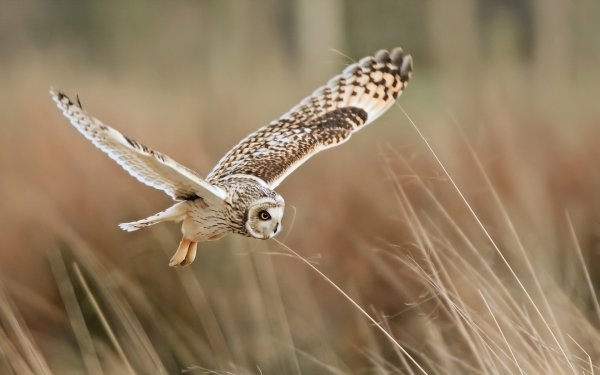 Animal Owl Birds Owls Wings Flight HD Wallpaper | Background Image