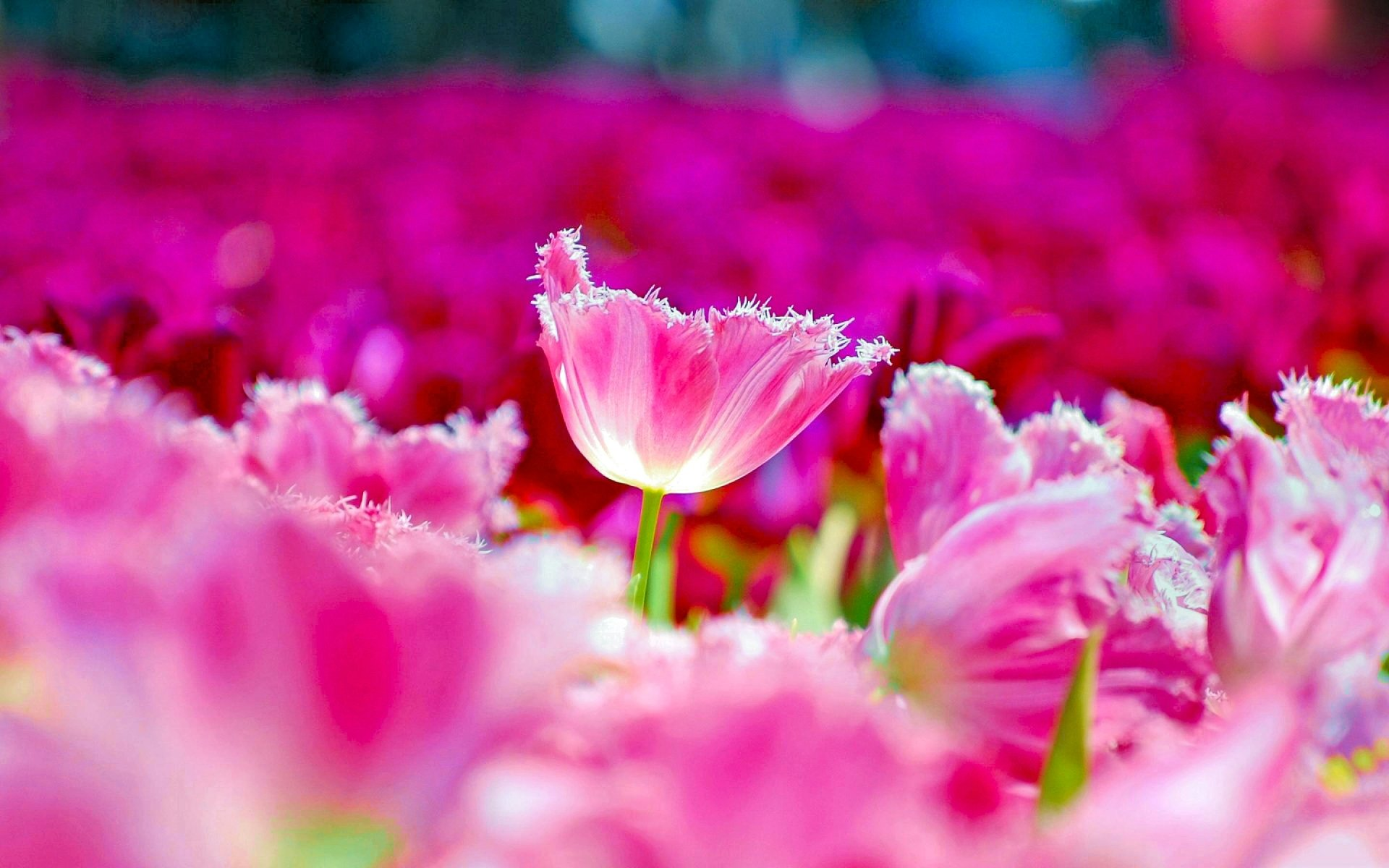 Earth - Tulip  Colorful Nature Pink Flower Flower Spring Wallpaper