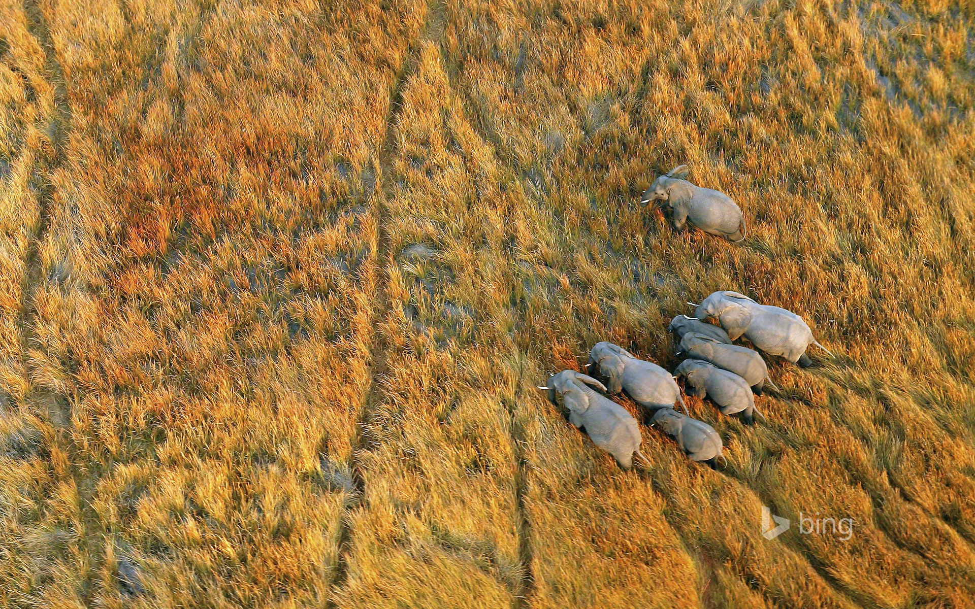 Elephants in the Okavango Delta, Botswana HD Wallpaper ...