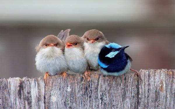 Animal Superb fairywren Birds Passerines Bird HD Wallpaper | Background Image
