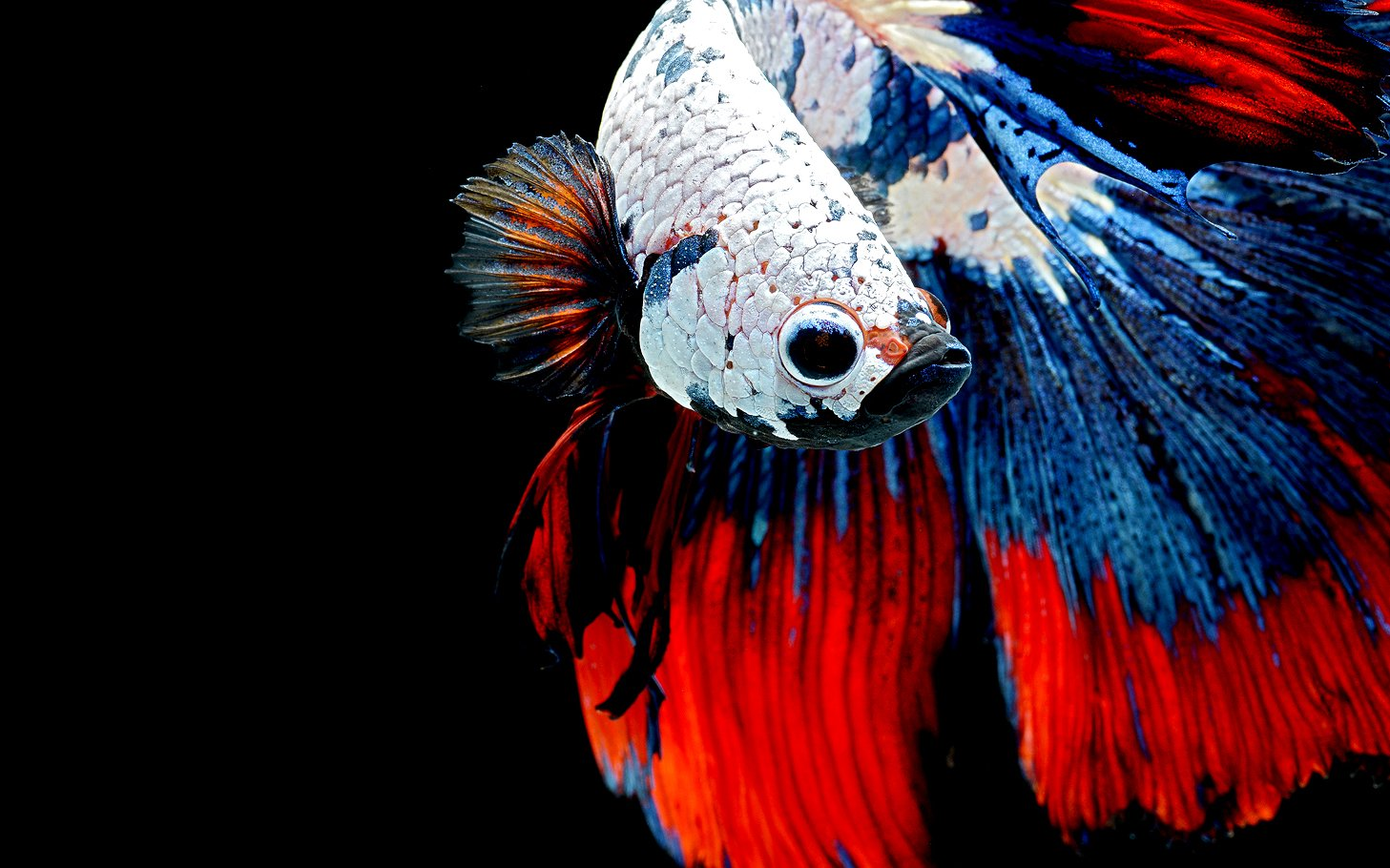 Betta Wallpaper and Background Image | 1457x910 | ID:559277