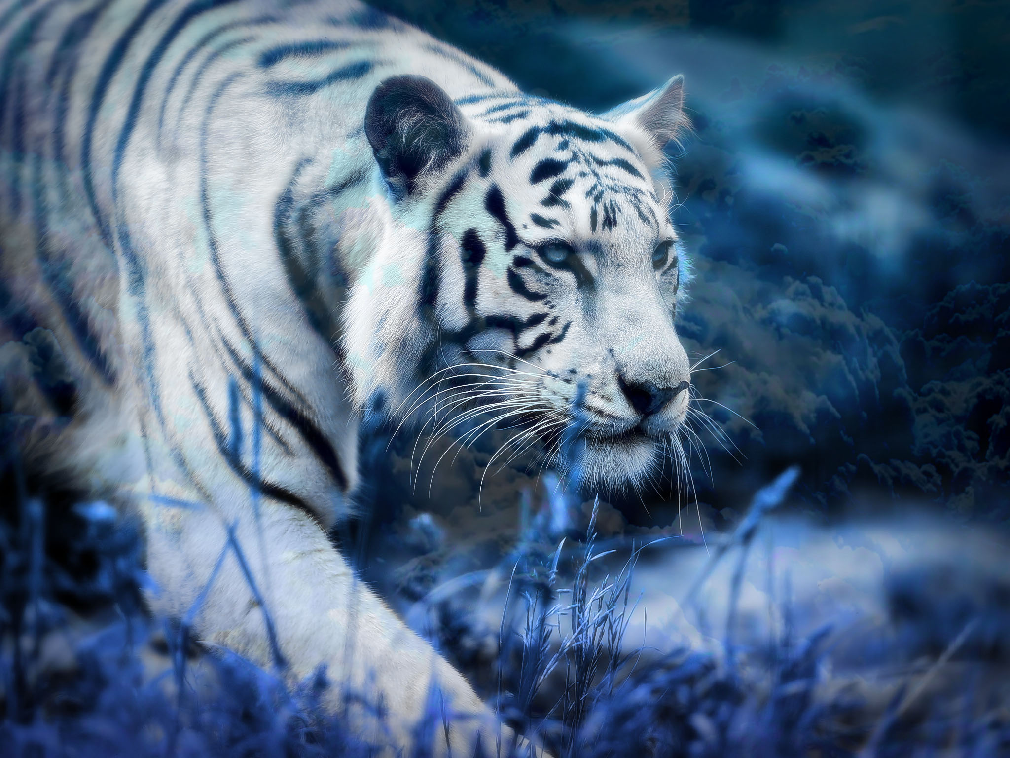 white tiger blue clouds hd wallpaper background image 2048x1536