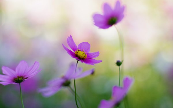 Earth Cosmos Flowers Close-Up HD Wallpaper   Background Image