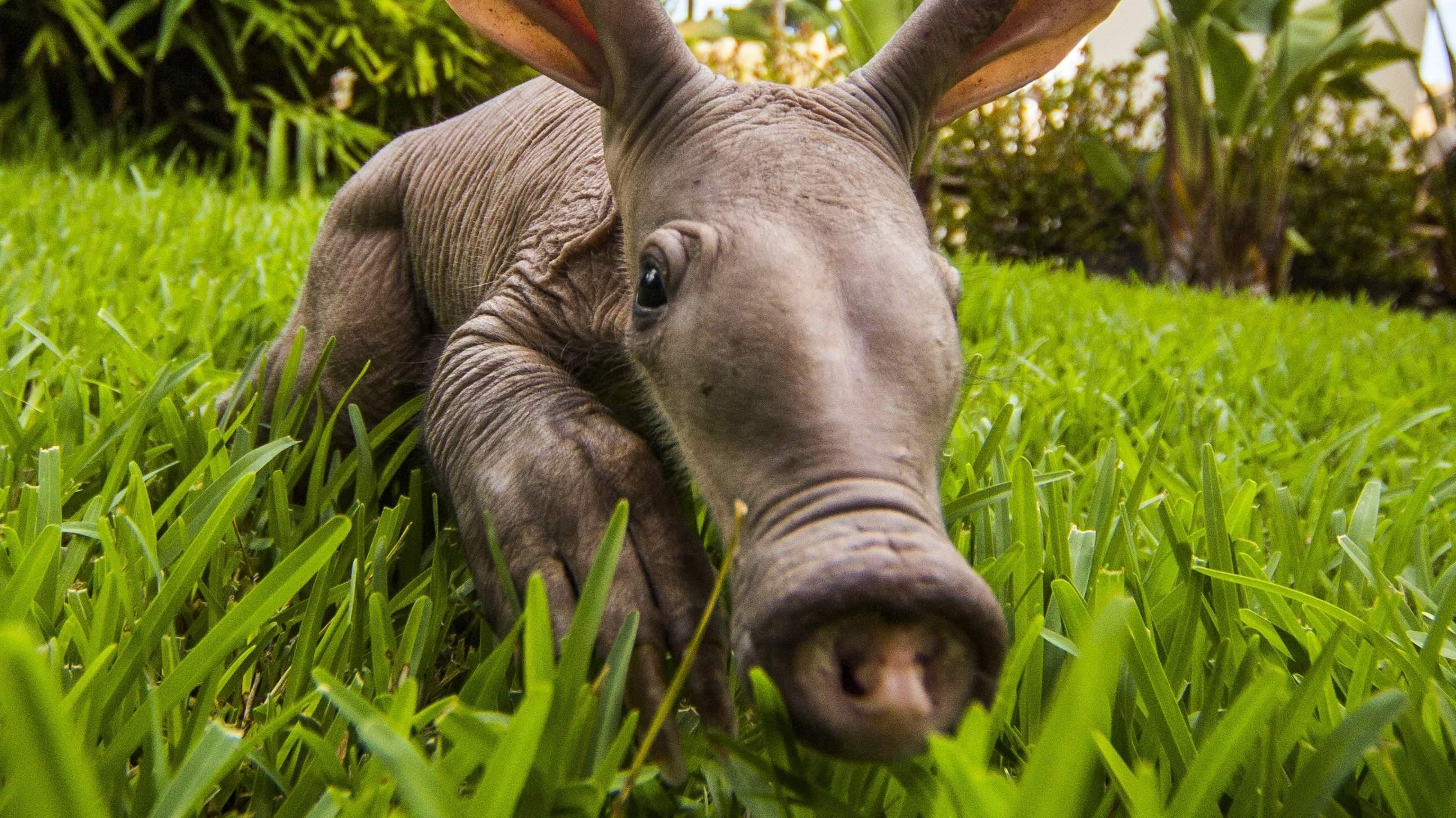 4 Aardvark HD Wallpape...