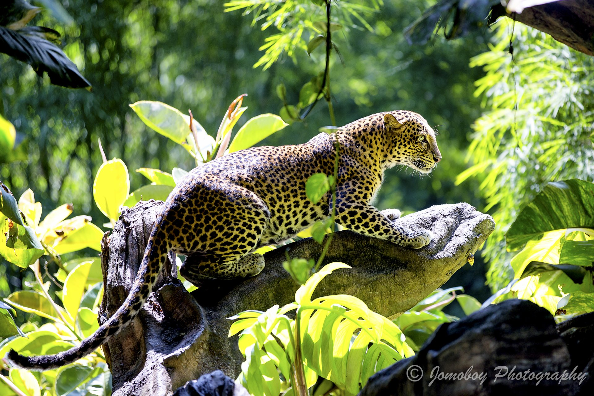 Animal - Jaguar  Jungle Wildlife Leopard Bokeh Big Cat Wallpaper