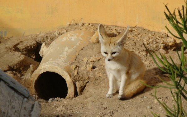 Animal Fennec Fox Fox HD Wallpaper | Background Image