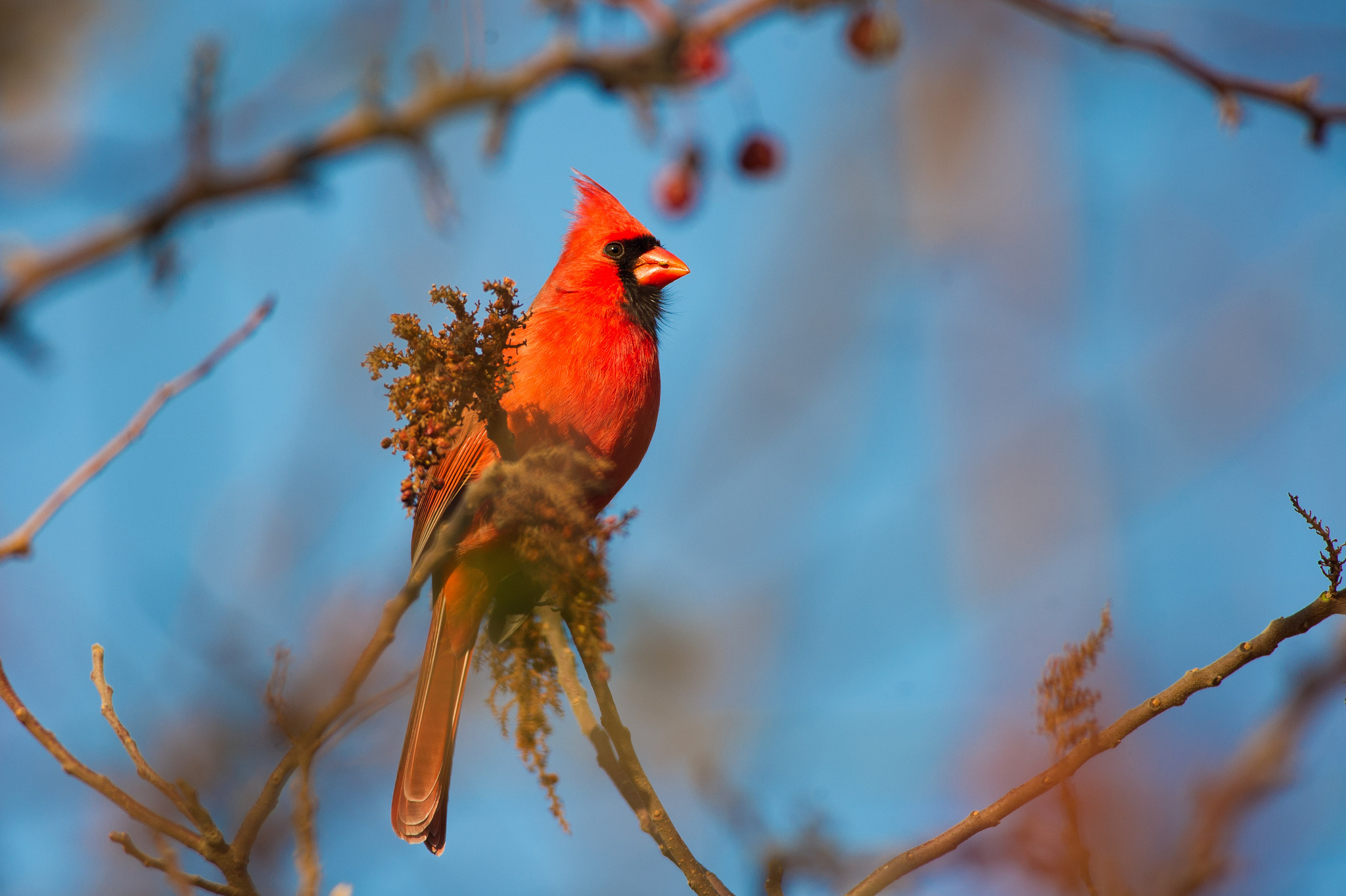 Cardinal HD Wallpaper