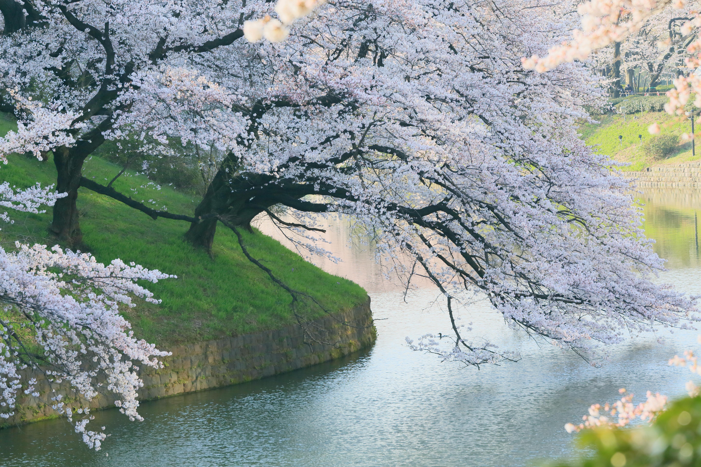 Japanese Clothes Lying Down Sakura HD Wallpaper