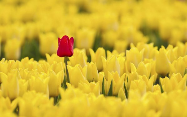Earth Tulip Flowers HD Wallpaper   Background Image