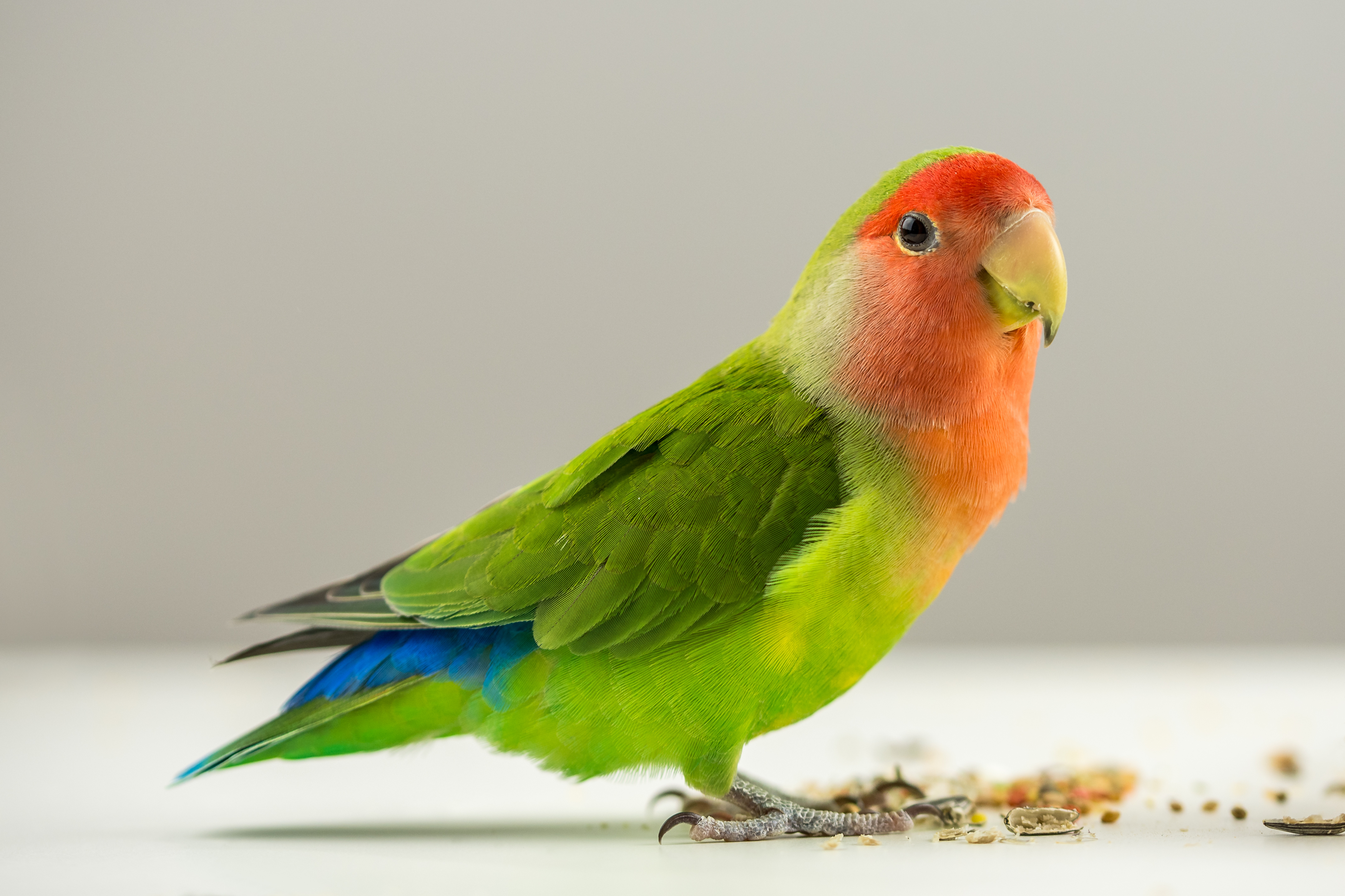 3 lovebird hd wallpapers | background images - wallpaper abyss
