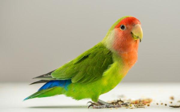 Animales Lovebird Aves Loros Loro Fondo de pantalla HD | Fondo de Escritorio