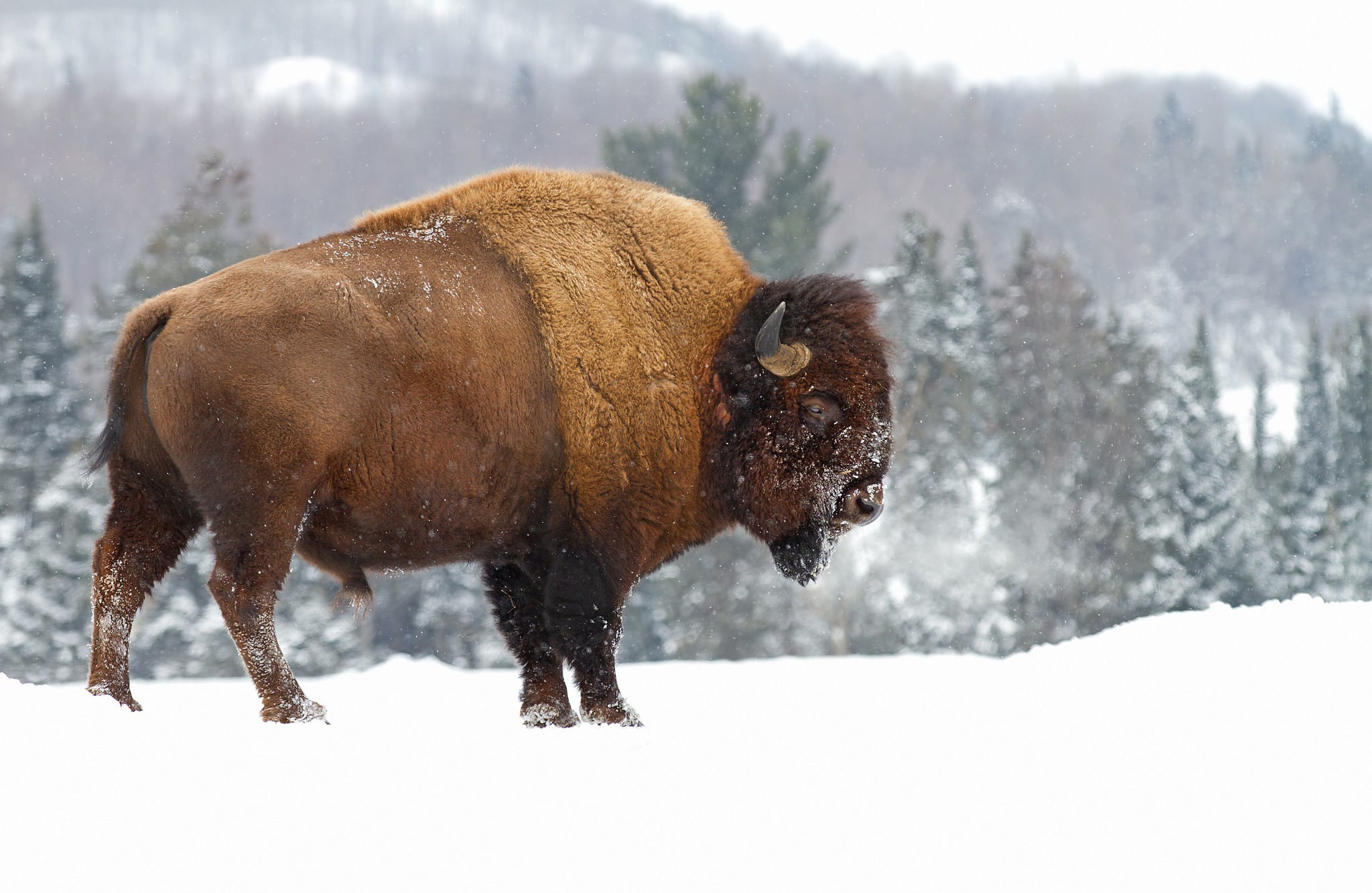American Bison Computer Wallpapers, Desktop Backgrounds ...