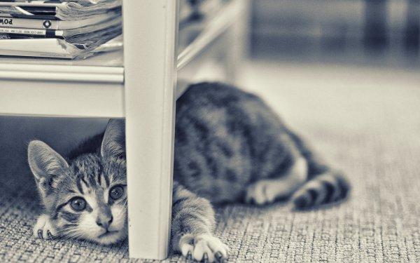 Animal Cat Cats Interior HD Wallpaper | Background Image